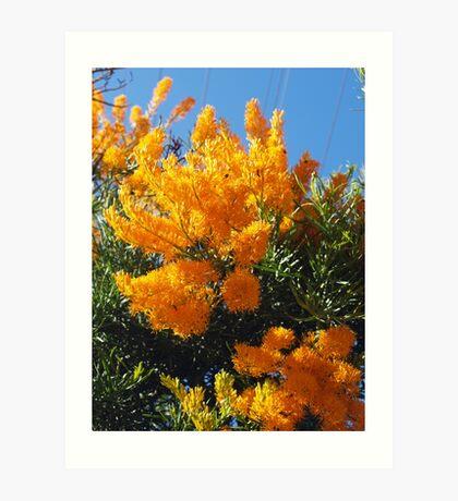 Nuytsia Orange Art Print