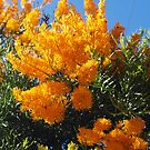 Nuytsia Orange by kalaryder