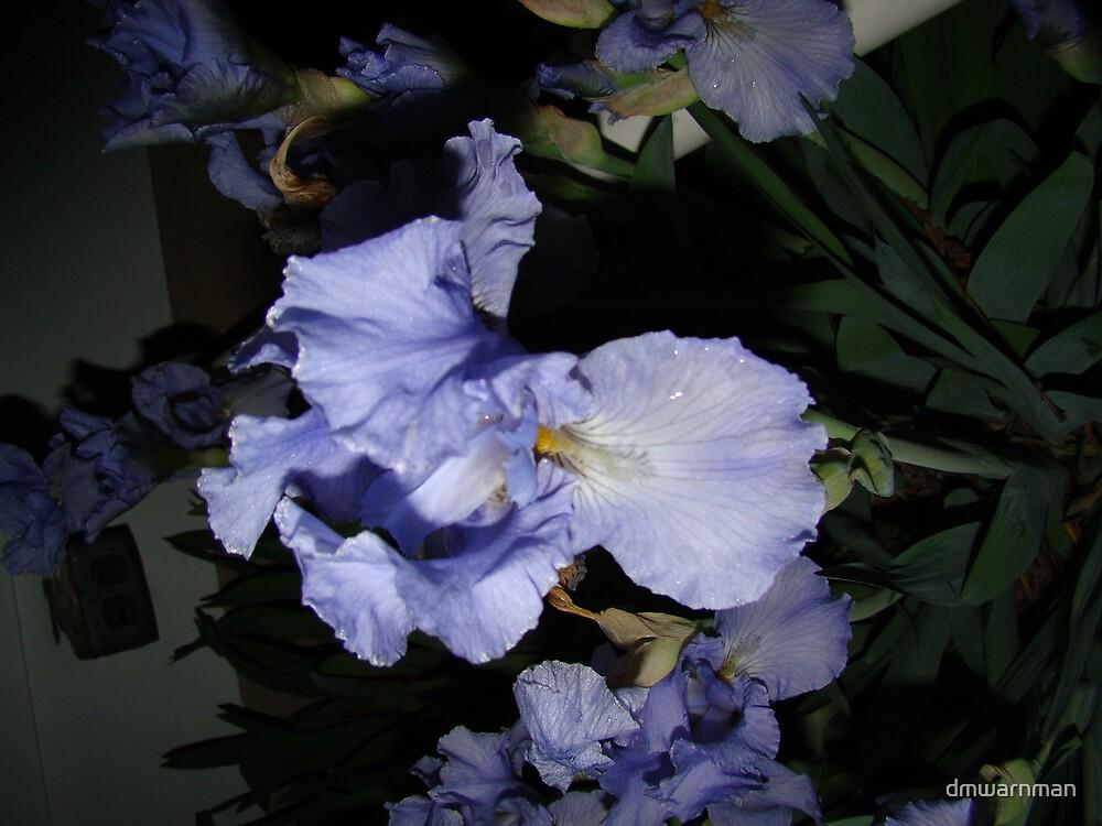 Iris with dew by dmwarnman
