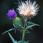 Thistle Down by nastruck