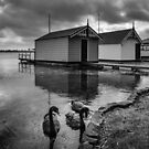 Lake Wendouree Swans  by Christine Wilson