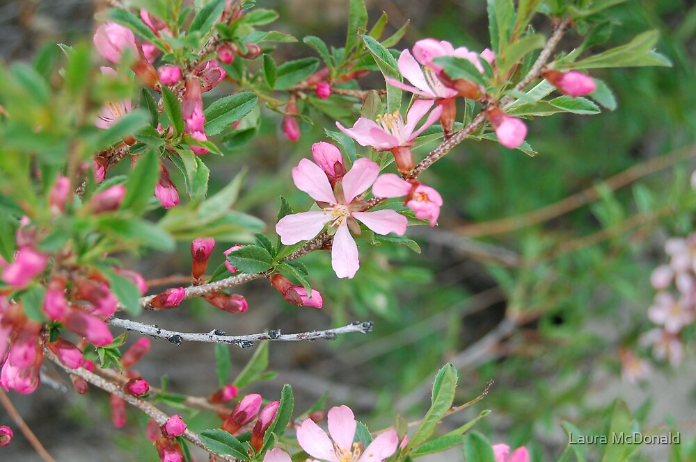 Pink Blossoms by Laura McDonald