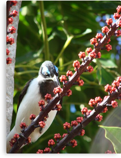 Blue-Eyed Honeyeater & Red Umbrella Tree Fruit by Martice