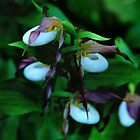 Mountain Lady's Slipper by Vickie Emms