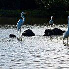 Egrets in the Salt Pond by dcdigital