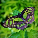 Green And Black Butterfly by Cynthia48