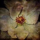 White Tea Rose by Debra Fedchin