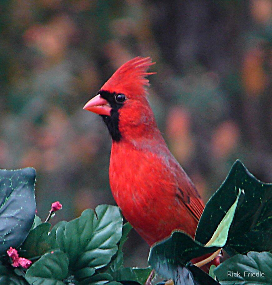 Cardinal by Rick  Friedle