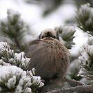 Puffed Up Bird by lemontree