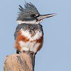 Female Belted Kingfisher by (Tallow) Dave  Van de Laar