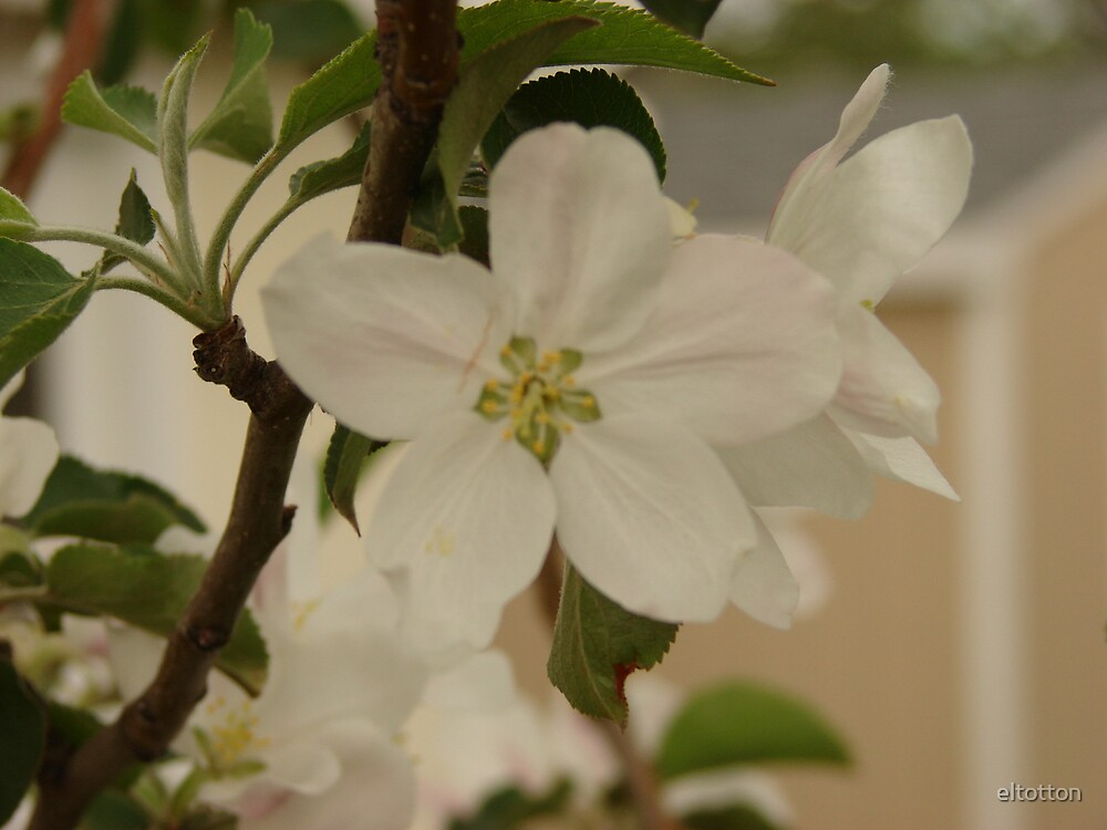 Apple Blossoms  by eltotton