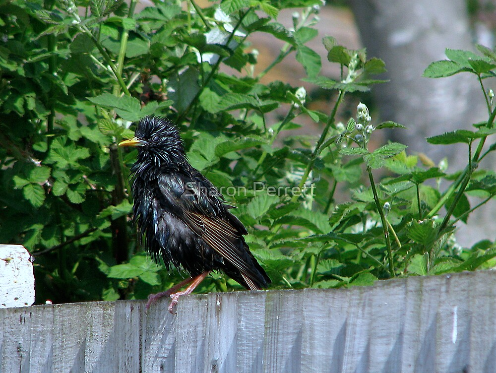 So who ruffled your feathers? by Sharon Perrett