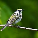 Chestnut-sided Warbler 2 by Benjamin Young