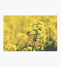 Canola Bee Photographic Print