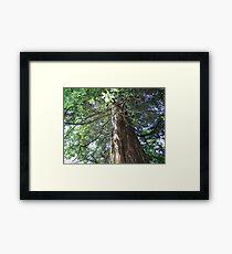 Cedar Tree Center Framed Print