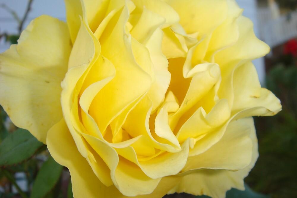 rose by Travis  laparne
