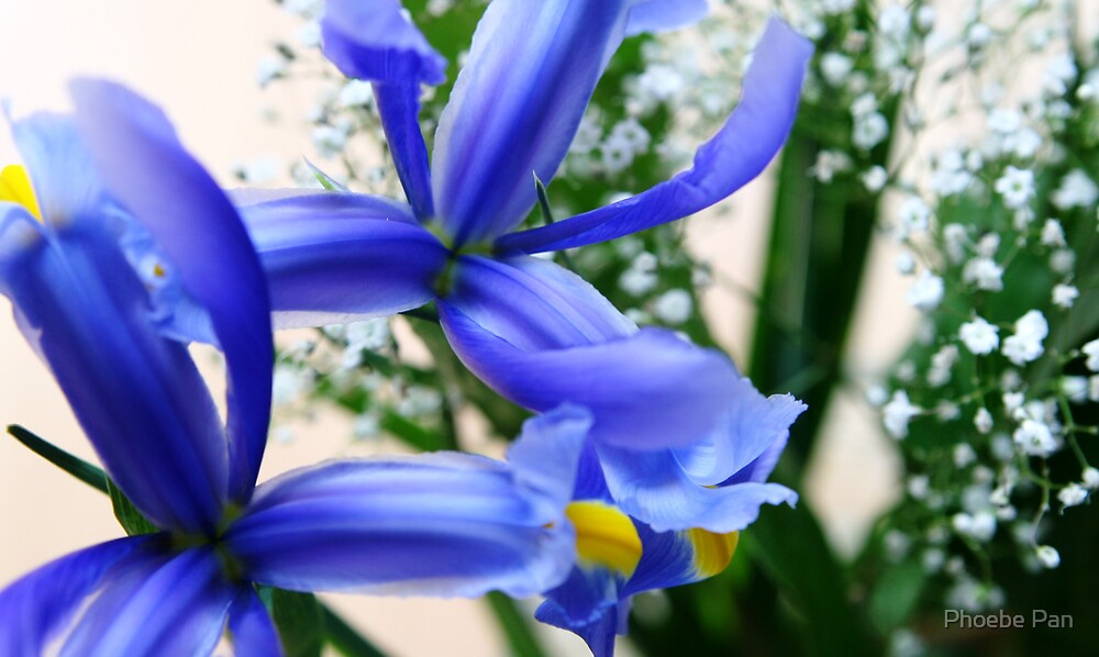 Starry Starry Iris by Phoebe Pan