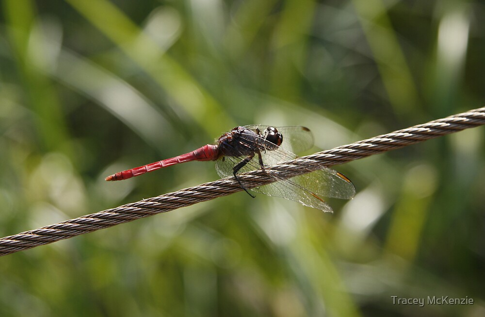 Resting Dragonfly by Tracey McKenzie