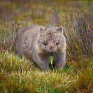 Wombat by Paul Fleming