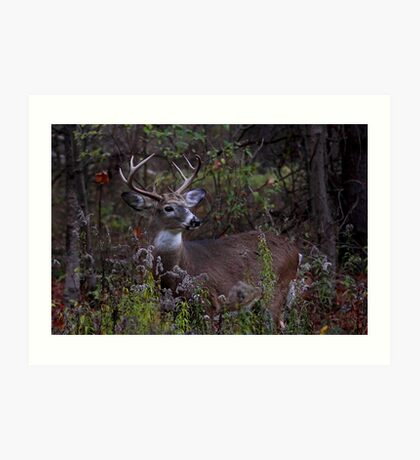 Young Prince - White-tailed Deer Art Print