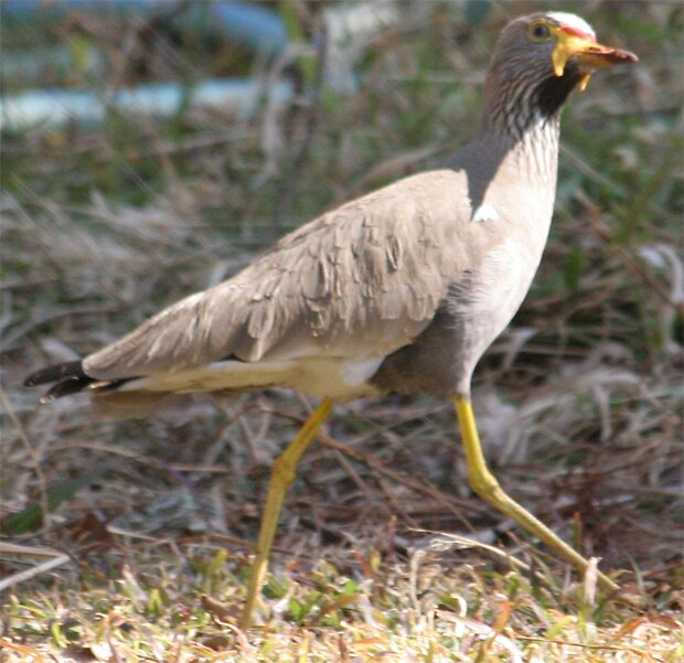Wattled Plover by Paul Lindenberg