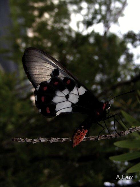 Butterfly by A Farr