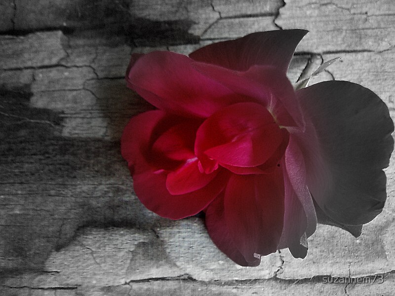 Rose on Old Wood by suzannem73