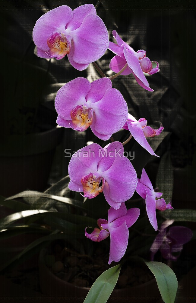 Orchid by Sarah McKoy