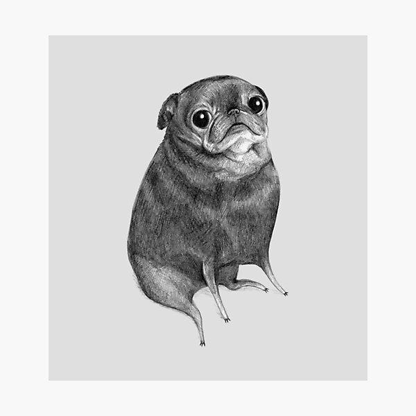 Sweet Black Pug Photographic Print