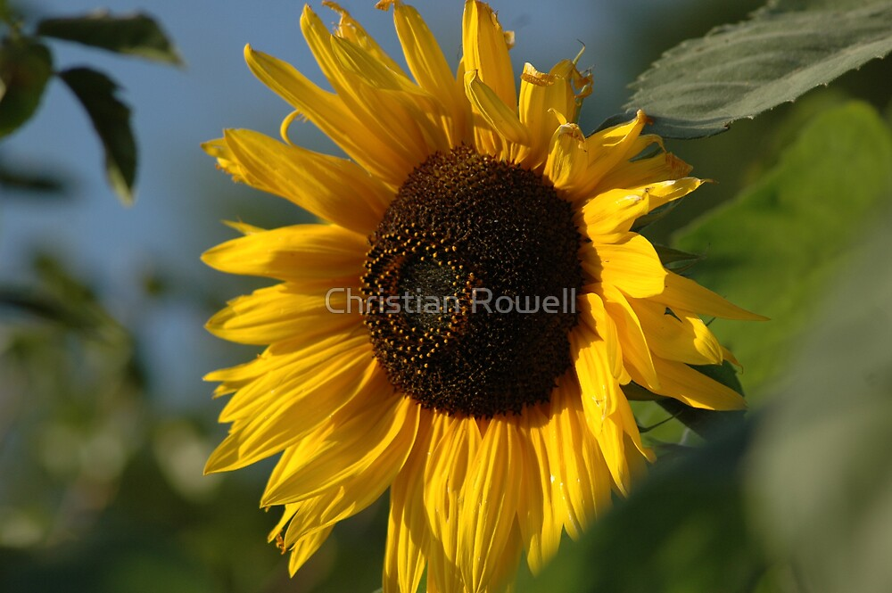 sunflower by Christian Rowell