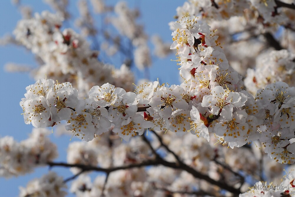 Cherry Blossoms in a Tree (1) by Mike Ashley