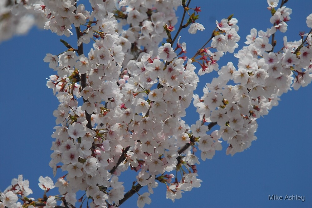 Cherry Blossoms in a Tree (4) by Mike Ashley