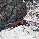 Mink on Rocks by patti4glory