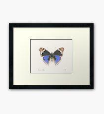 Butterfly - Blue Argus Framed Print