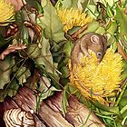 Honey Possum in Dryandra by Suzannah Alexander
