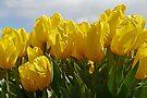 Golden Tulips by Graeme  Hyde