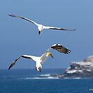 Australasian Gannets - Portland VIC (3956) by Emmy Silvius