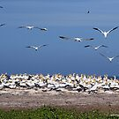 Australasian Gannets - Portland VIC (4055) by Emmy Silvius
