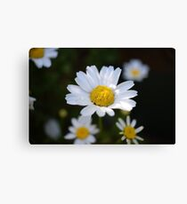 White Daisy Flowers Close UP Canvas Print
