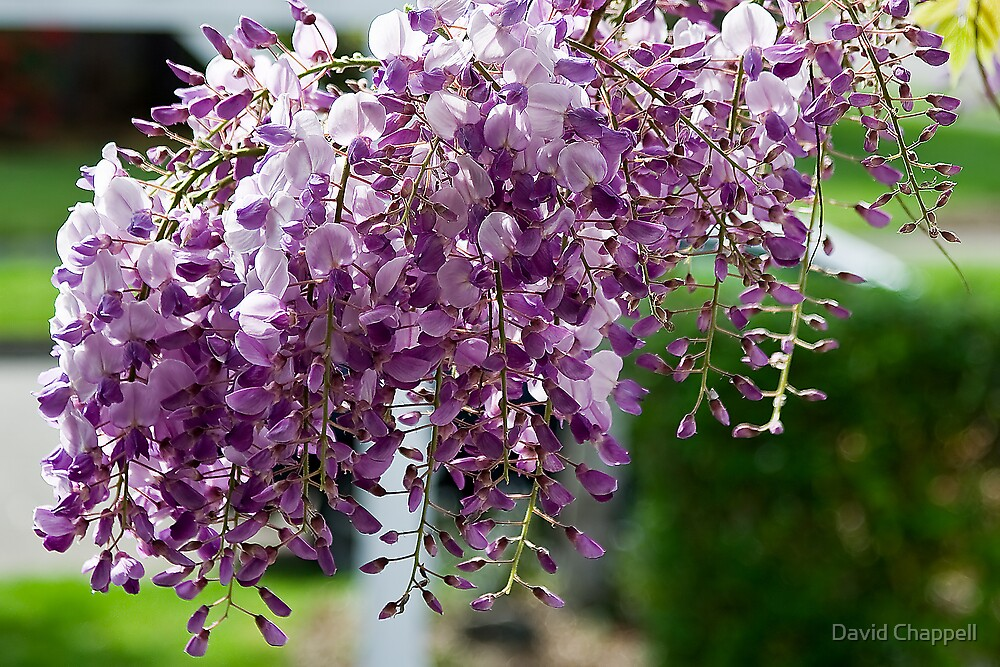 Wisteria 1 by David Chappell