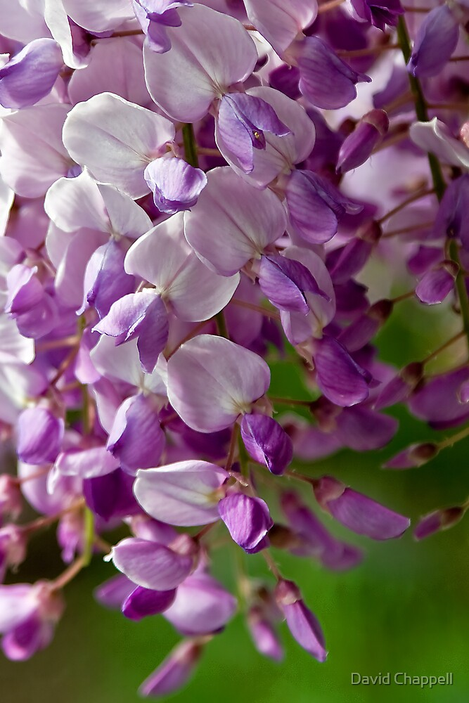 Wisteria 2 by David Chappell
