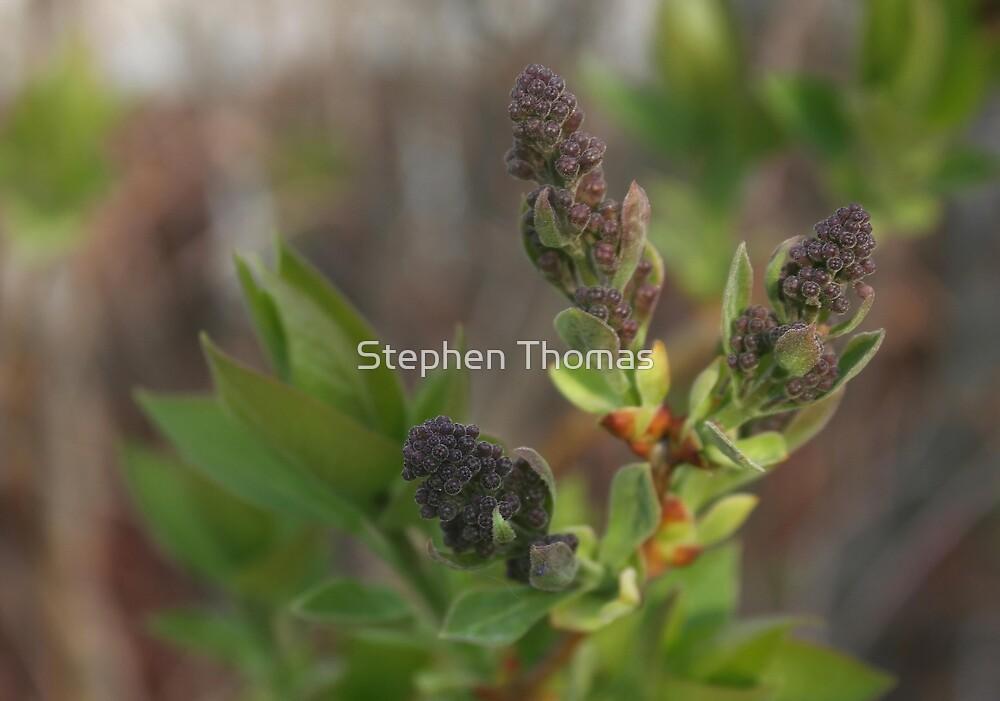 Tiny Purple Buds by Stephen Thomas