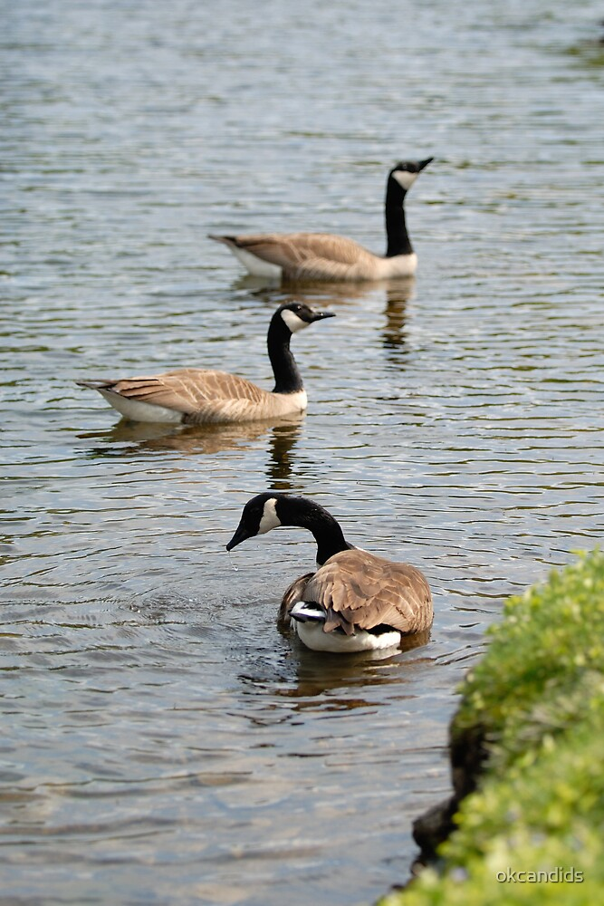 Canada Geese by okcandids