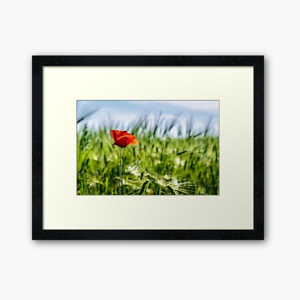 red poppy in the wheat field Framed Art Print
