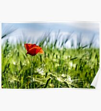 red poppy in the wheat field Poster