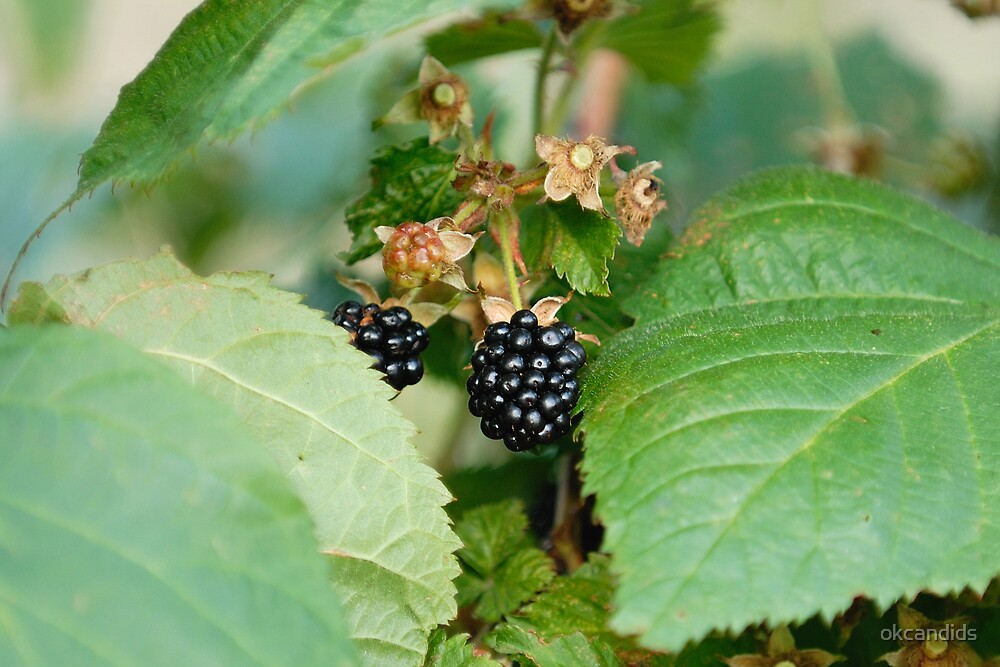 Wild Blackberries by okcandids
