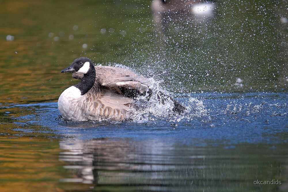 Canada Goose by okcandids