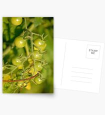 Green Cherry Tomatoes Postcards
