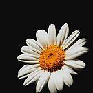 Daisy, Daisy.... by Janine  Hewlett