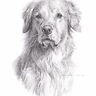 old golden retriever drawing by Mike Theuer